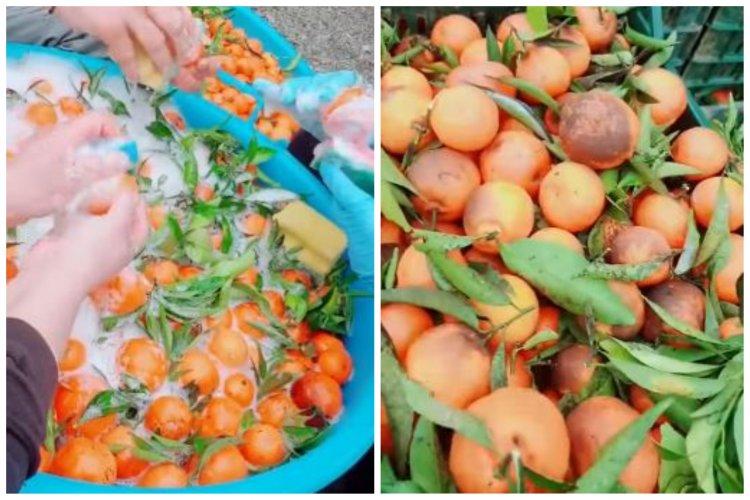 Mandarine spălate cu detergent de vase de românii care muncesc în Italia