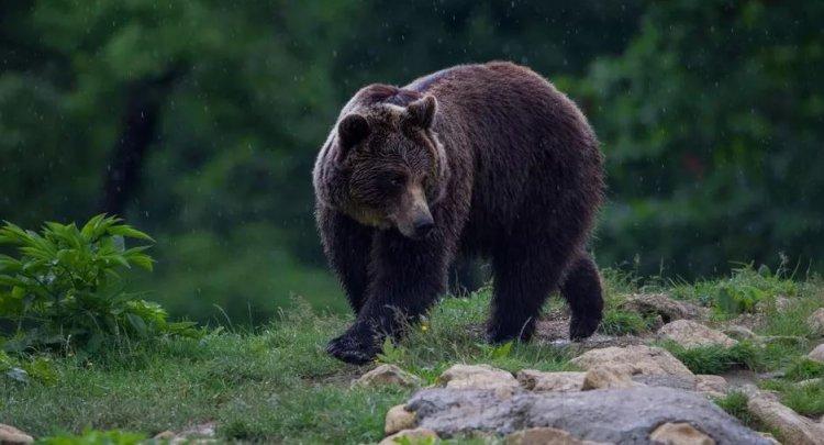 DNA a deschis dosar penal în cazul uciderii ursului Arthur
